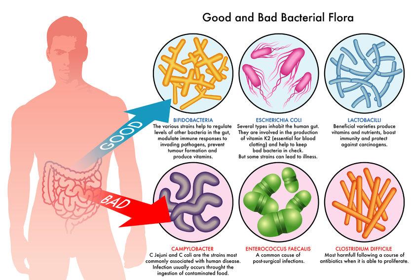 probiotics-diagram